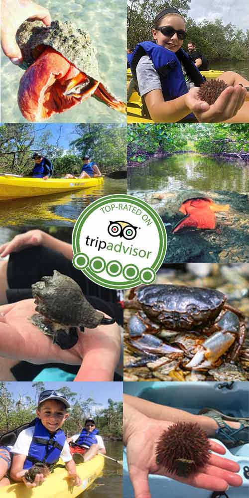 Exploring mangroves tunnels and mud flats on a guided kayak tour  Florida Adventures and Rentals
