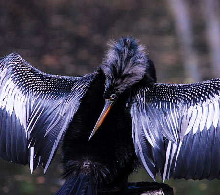 Birds of Southwest Florida Bird Identification: Anhinga | Florida Adventures and Rentals