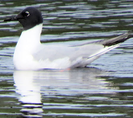 Birds of Southwest Florida Bird Identification: Bonapartes Gull | Florida Adventures and Rentals