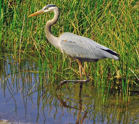 Birds of Southwest Florida Bird Identification: Great Heron | Florida Adventures and Rentals