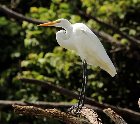 Birds of Southwest Florida Bird Identification: Great Egret| Florida Adventures and Rentals