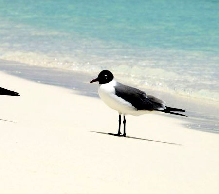 Birds of Southwest Florida Bird Identification: Laughing Gull | Florida Adventures and Rentals