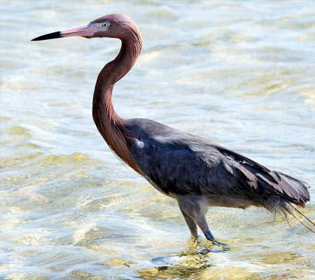 Birds of Southwest Florida Bird Identification: Reddish Egret | Florida Adventures and Rentals