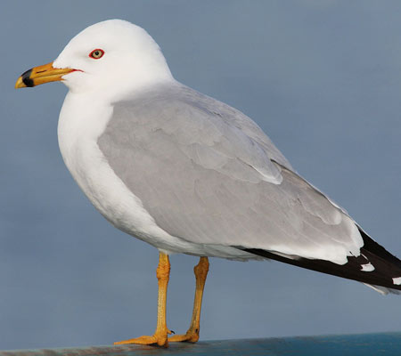 Birds of Southwest Florida Bird Identification: Ring Billed Gull | Florida Adventures and Rentals
