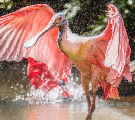 Birds of Southwest Florida Bird Identification: Roseate Spoonbill | Florida Adventures and Rentals
