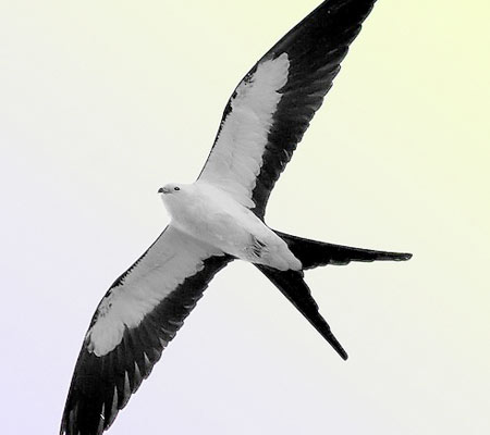 Birds of Southwest Florida Bird Identification: Swallow Tailed Kite | Florida Adventures and Rentals