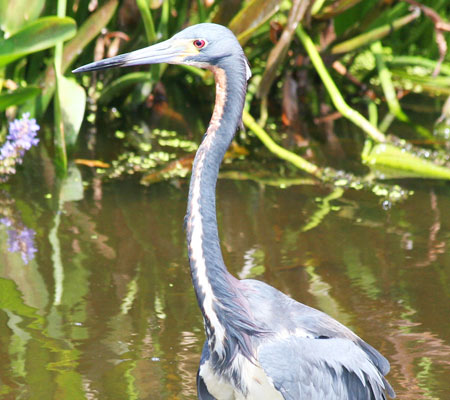 Birds of Southwest Florida Bird Identification: Tri-Colored Heron | Florida Adventures and Rentals