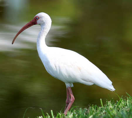 Birds of Southwest Florida Bird Identification: White Ibis | Florida Adventures and Rentals