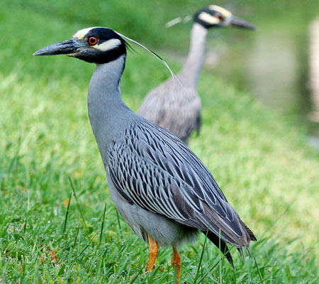Birds of Southwest Florida Bird Identification: Yellow Crowned Night Heron | Florida Adventures and Rentals
