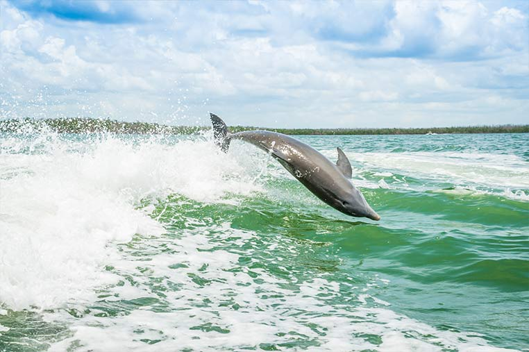 Dolphins spotted on our Dolphin Tours around Marco Island | Florida Adventures and Rentals