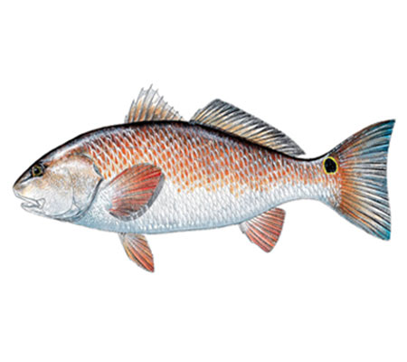 Southwest Florida Fish Identification: Redfish | Florida Adventures and Rentals