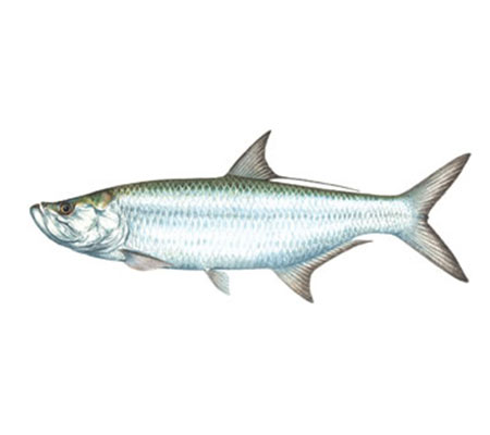 Southwest Florida Fish Identification: Tarpon | Florida Adventures and Rentals