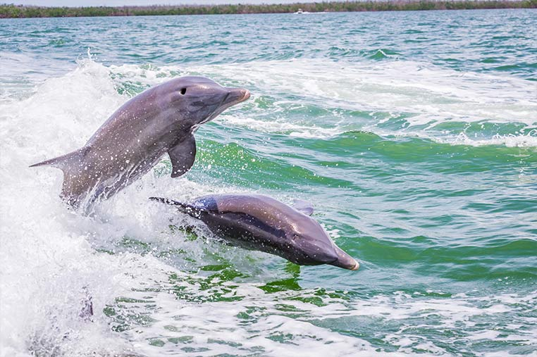 Dolphin Tours of Marco Island | Florida Adventures and Rentals