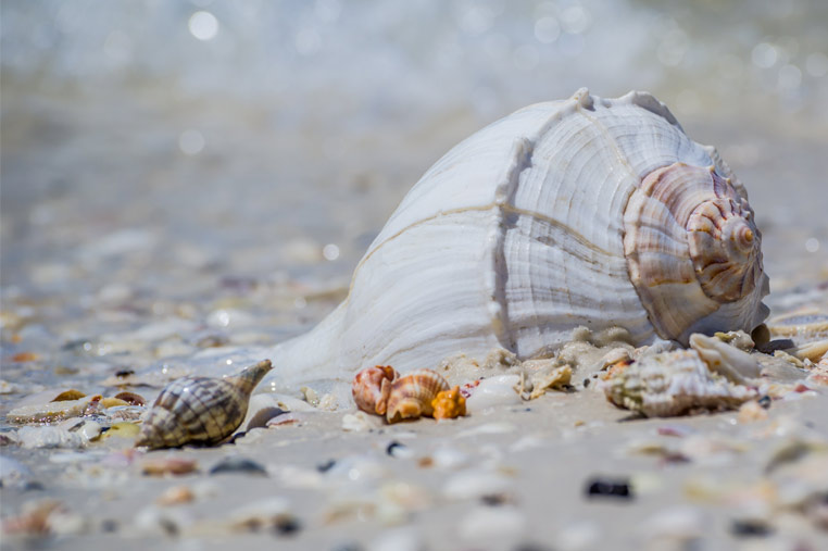 Marco Island's best shelling | Florida Adventures and Rentals