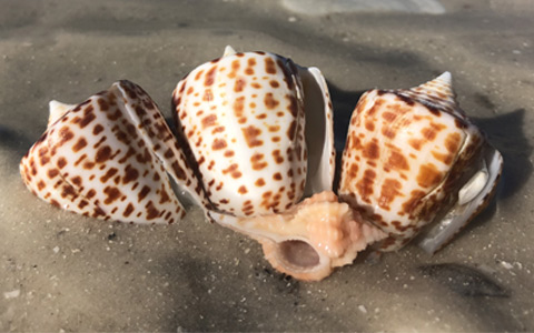 the-best-shelling-on-marco-island-florida-adventures-and-rentals